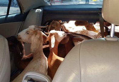 Foragido por estupro é recapturado ao ser flagrado com 11 cabras dentro de carro